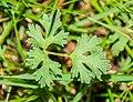 Ranunculus repens in Causse Comtal (2).jpg