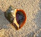 Rapana Black Sea 2009 G4.jpg