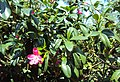 Ravenia spectabilis 03.JPG
