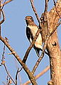 Red-Headed Woodpecker Juvenile (7850781952).jpg