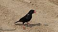Red-billed Buffalo-Weaver (Bubalornis niger) (6016768281).jpg