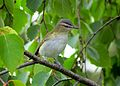 Red-eyed Vireo, juvenile (15268375617).jpg