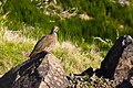 Red-legged partridge at Pico Do Arieiro, Madeira.jpg