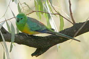 Ocean Grove Nature Reserve - Red-rumped parrots are thriving in the reserve