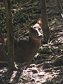 Red Brocket Deer in Barbados 07.jpg