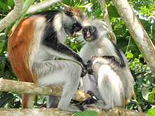 Red Colobus 7.jpg