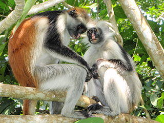 Red colobus Genus of Old World monkeys