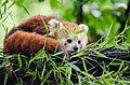 Red Panda (20596264246).jpg