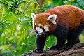 Red Panda (24169677538).jpg
