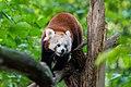Red Panda (36790433354).jpg
