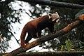 Red Panda walking on a tree at Padmaja Naidu Himalayan Zoological Park.jpg