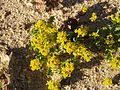 Red Rock Canyon Flowers (2340970684).jpg
