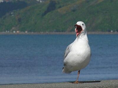 Red billed gull speaks.jpg