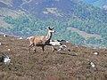 Red deer on Meall nan Sac - geograph.org.uk - 820841.jpg