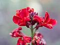 Red flowers (detail) (14330255411).jpg