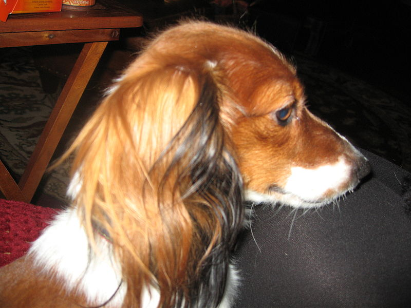Description Red piebald dox miniature long hair.jpg
