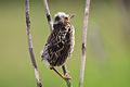 Redwinged Blackbird y 3855.jpg