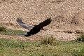 Reed cormorant - Queen Elizabeth National Park, Uganda.jpg