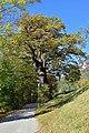 Reichenau an der Rax - Naturdenkmal NK-103 - Sommereiche.jpg