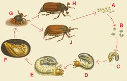 Melolonthinae Wikipedia