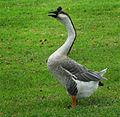 Resident Goose of Little Lake Marie in DeBary, FL - Flickr - Andrea Westmoreland.jpg