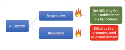 Two pathways by which rooibos can respond to fire.