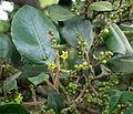 Rhamnus glandulosa kz1.JPG