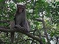 Rhesus macaque (Macaca mulatta) (6747972743).jpg