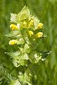Rhinantus alectorolophus festieux 02 25052008 2.jpg