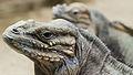 Rhinoceros iguanas.jpg
