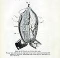 Rhinoderma darwinii00.jpg