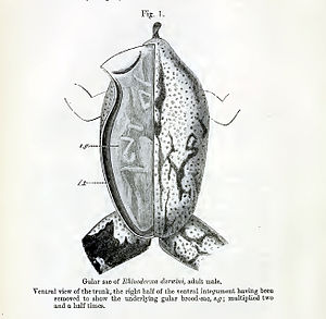 Darwin's frog - Ventral view of trunk