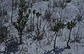 Rhizophora.Salicornia.Great Harbour Key (24005177257).jpg