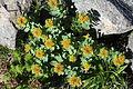 Rhodiola rosea (Mount Hijiri).JPG