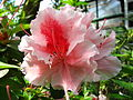 Rhododendron 'Professeur Wolters' 01.JPG