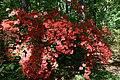 Rhododendron Bagatelle 2zz.jpg