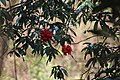 Rhododendron arboreum at Phoolbari, Nepal.jpg
