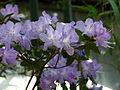 Rhododendron augustinii 03.JPG