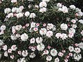 Rhododendron degronianum subsp. yakushimanum.jpg