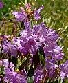 Rhododendron rubiginosum 2.jpg