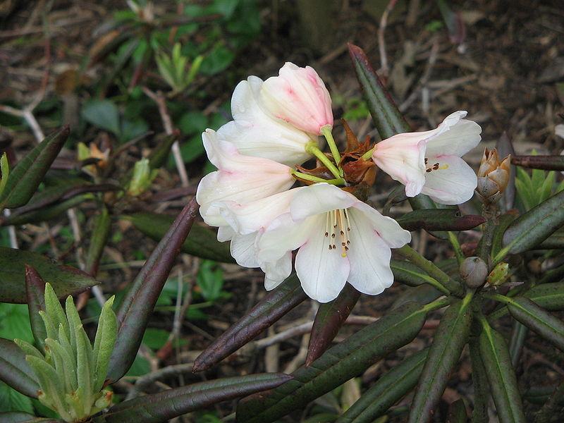 File:Rhododendron yakushimanum cultivar.jpg