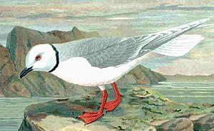 Ross's gull - Image: Rhodostethia rosea
