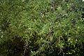 Rhus mysorensis (Mysore Sumac) W IMG 3601.jpg