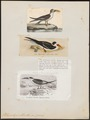 Rhynchops albicollis - 1700-1880 - Print - Iconographia Zoologica - Special Collections University of Amsterdam - UBA01 IZ17900434.tif