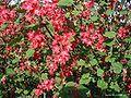 Ribes-sanguineum.JPG