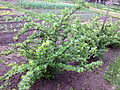 Ribes uva-crispa - 1001.jpg