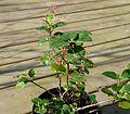 Ribes viburnifolium - Flickr - peganum (4).jpg