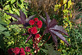 Ricinus communis cultivar.jpg