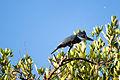 Ringed Kingfisher - Martın Pescador Grande (Megaceryle torquata) (♀) (10493486596).jpg