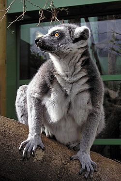 Ringtailed lemur ds.jpg